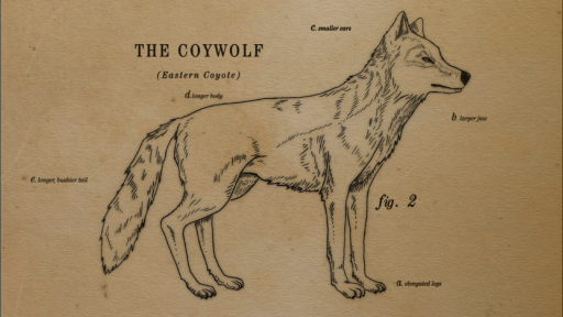 Clip |  Animated  How the Coywolf is a Coyote/Wolf Hybrid