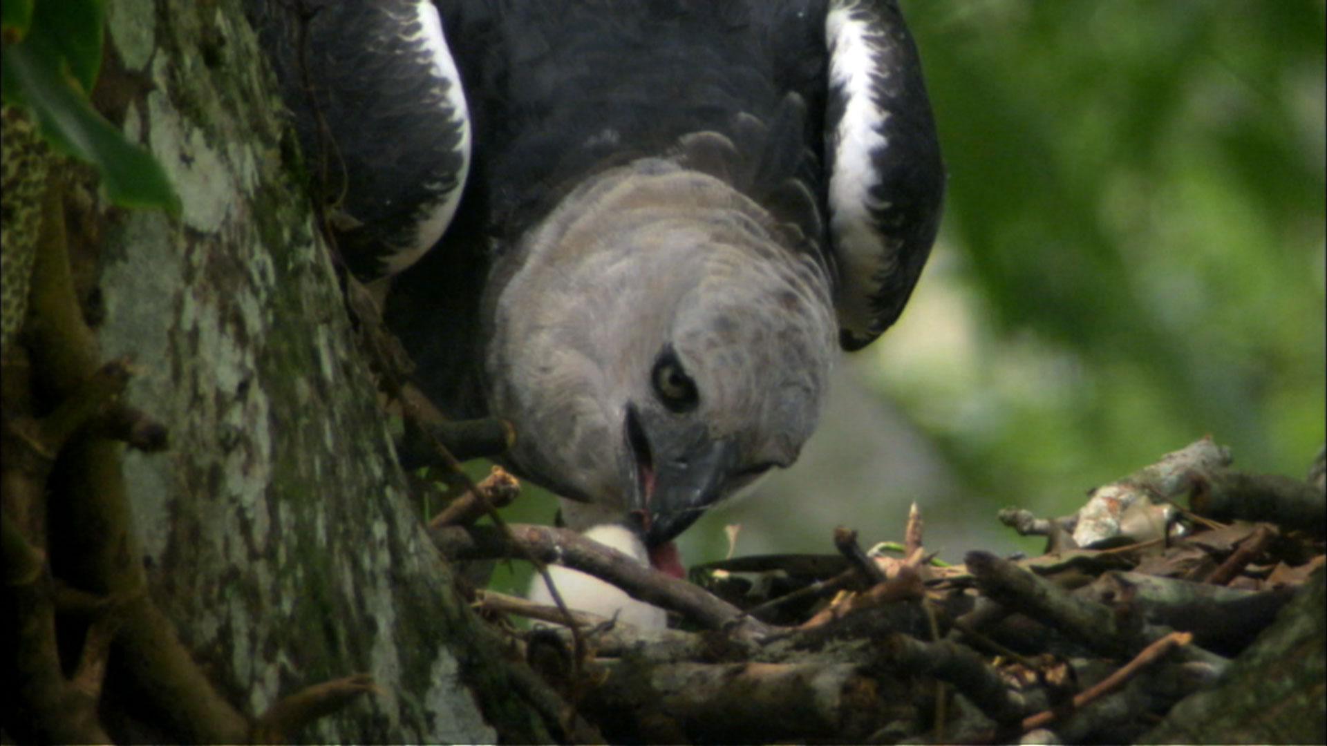 Arpia Eagle
