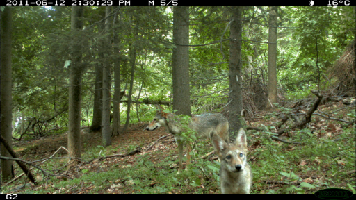 The Coywolf and its New York City habitat