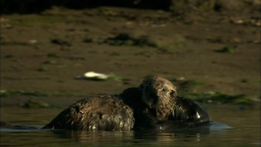 Clip |   Why Sea Otters Hold Hands & Wrap Pups in Seaweed
