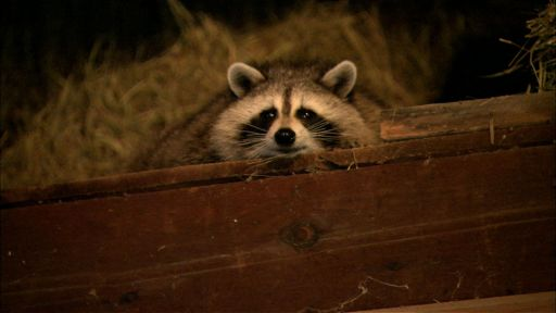 Raccoon Nation | Raccoon Fact Sheet | Nature | PBS