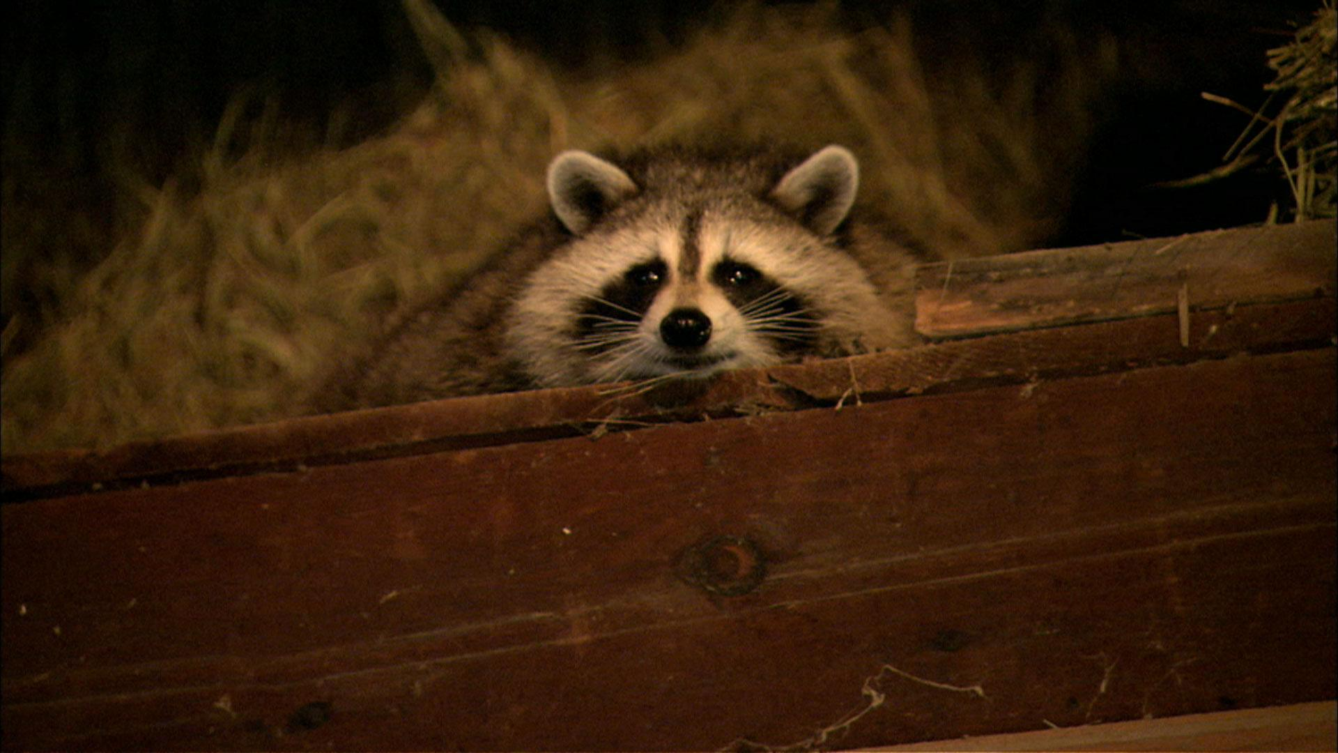 raccoon nation full episode nature pbs