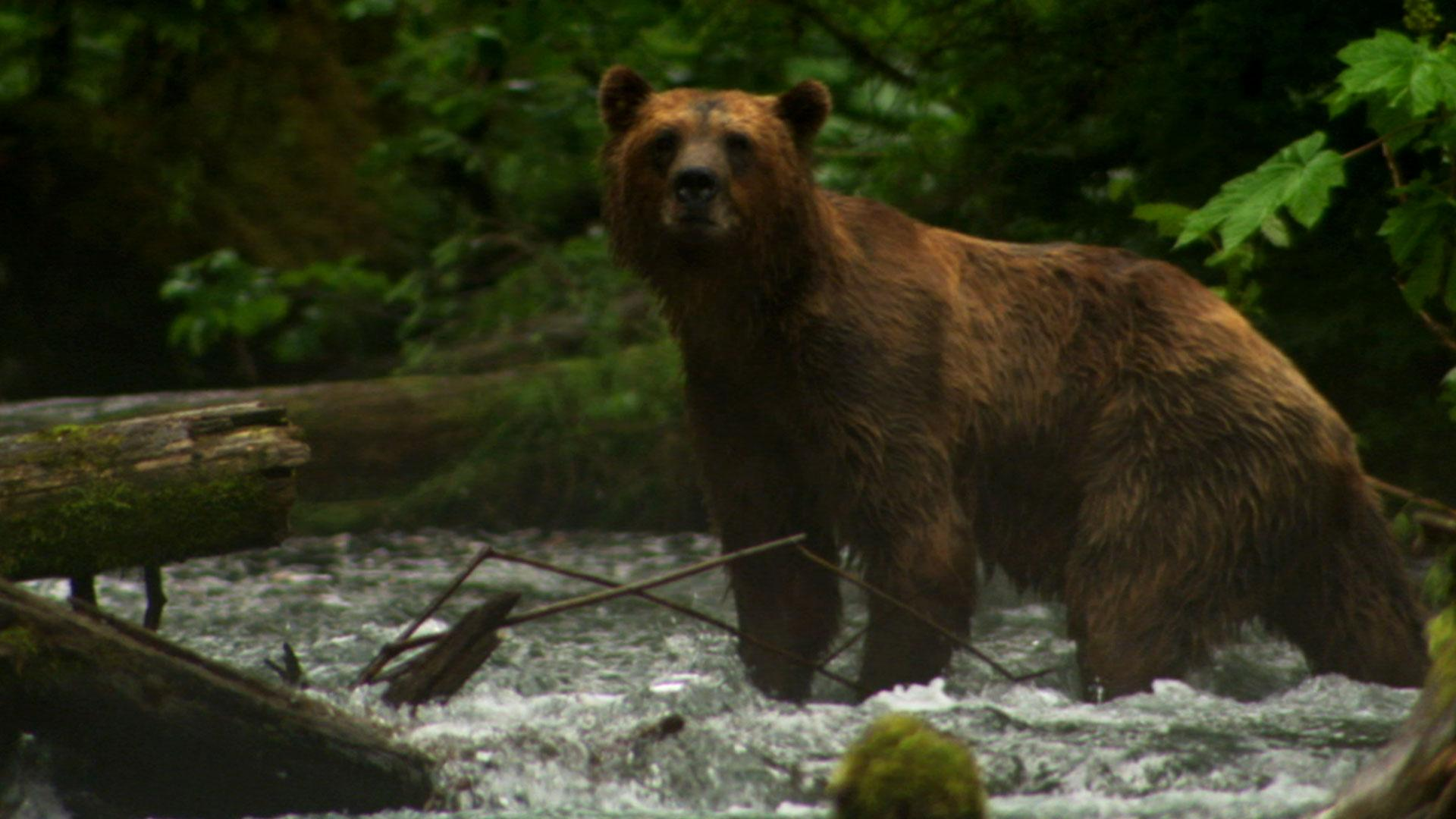 Fortress of the Bears | Inside the Fortress | Nature | PBS