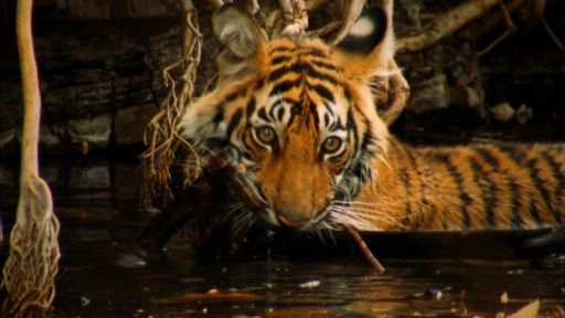 Broken Tail: A Tiger's Last Journey -- A Mischievous Tiger