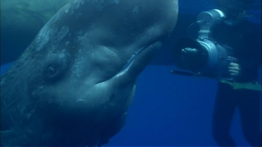 Clip |   Visit from an Infant Sperm Whale