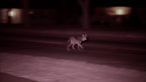 The Original Coyote and its Chicagoland habitat