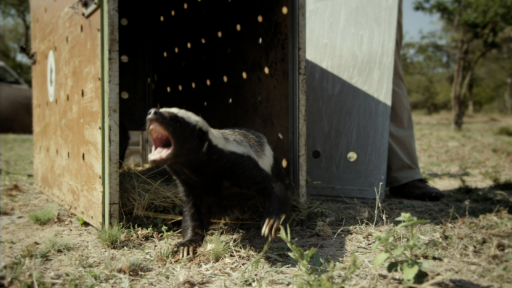 Honey Badgers: Masters of Mayhem -- Trailer: Honey Badgers: Masters of Mayhem