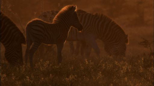 Great Zebra Exodus -- The Zebra of Botswana's Saltpans