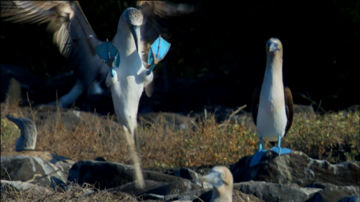 Clip | Dance of the Blue-Footed Booby