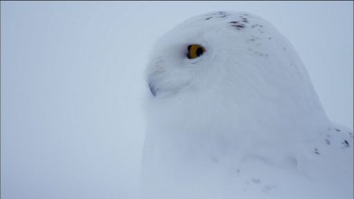 Owl of the Arctic