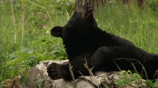 Bears of the Last Frontier: The Road North -- Wild Animals in an Urban Setting