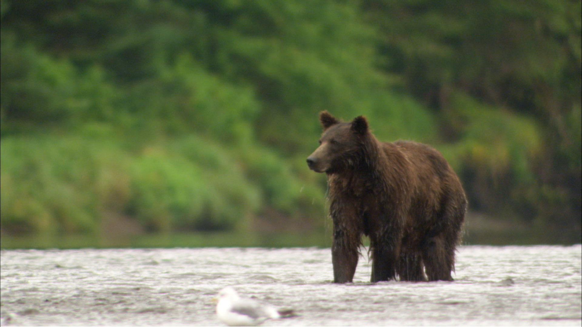 Admiralty Island Bears