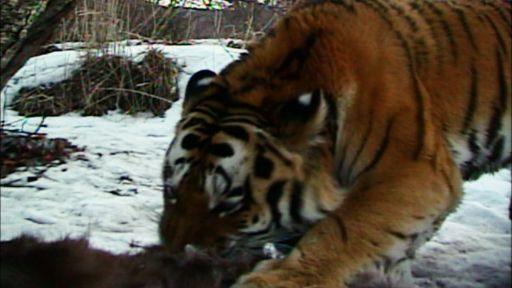 Siberian Tiger Quest -- Filming Wild Tigers