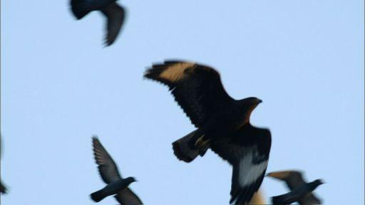 Buzzard Hunting Pigeons