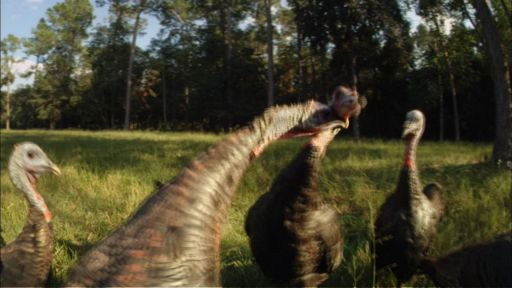 My Life as a Turkey -- Turkey Fight
