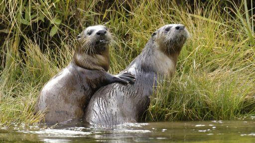 Yellowstone Otters