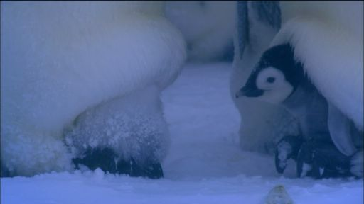 Emperor Penguins Huddle to Keep Warm