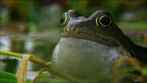 Clip |   It's frog mating season on the Shannon