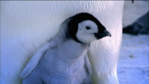 Clip | Baby Emperor Penguin Emerges from Shell