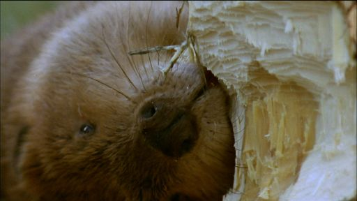 Clip |  How Beavers Build Dams