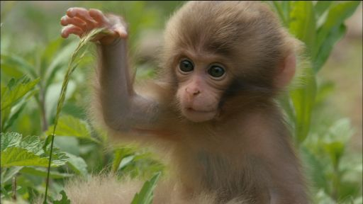 Snow Monkeys -- Monkey Babies Start to Explore
