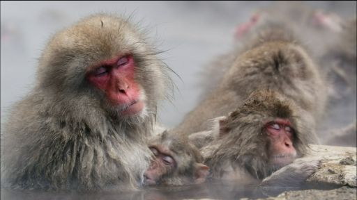 Snow Monkeys -- Japanese Snow Monkeys Soak in Hot Springs