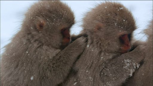 Snow Monkeys -- Snow Monkeys Grooming