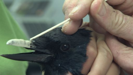 Clip |  Web-Exclusive: Injured Crow Gets a New Acrylic Beak