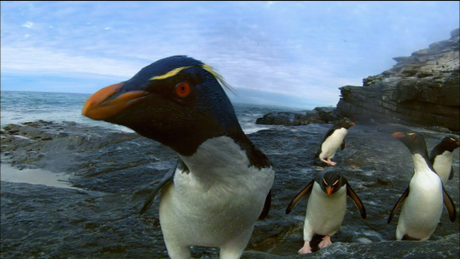 Earthflight: North America -- Rockhopper Penguins Make Landfall