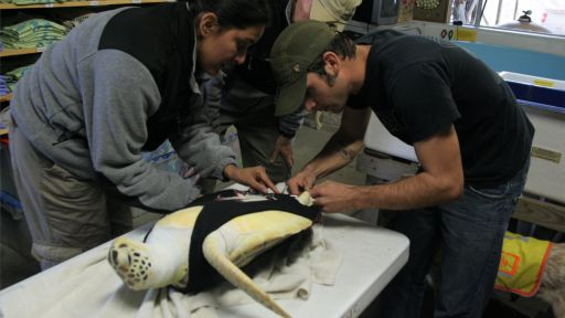 Clip |  Web-Exclusive: Sea Turtle With One Flipper Gets New Rudder Prosthetic