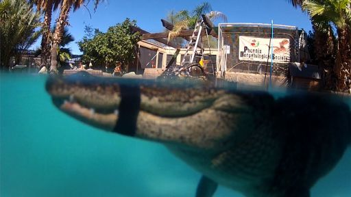 "Clip |  Web-Exclusive: ""Mr. Stubbs"" Alligator with Prosthetic Tail Learns to Swim"