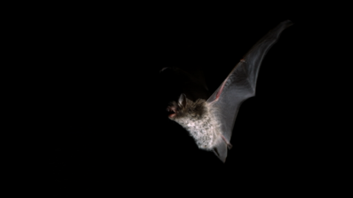Clip |  Bats in flight over the Shannon