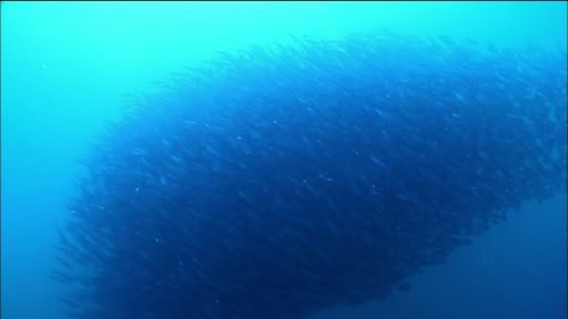 The Gathering Swarms -- Sardine Run in South Africa