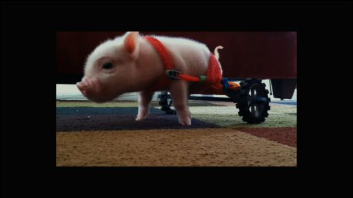 Clip |   Meet Chris P. Bacon, Pig in a Wheelchair