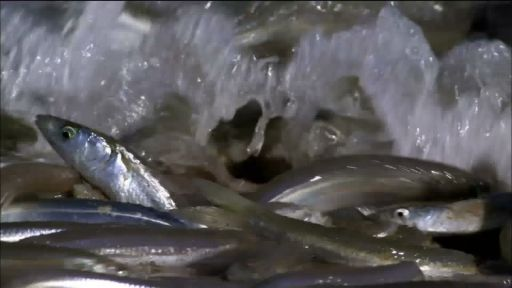 Clip |  Gulf Grunion Spawning