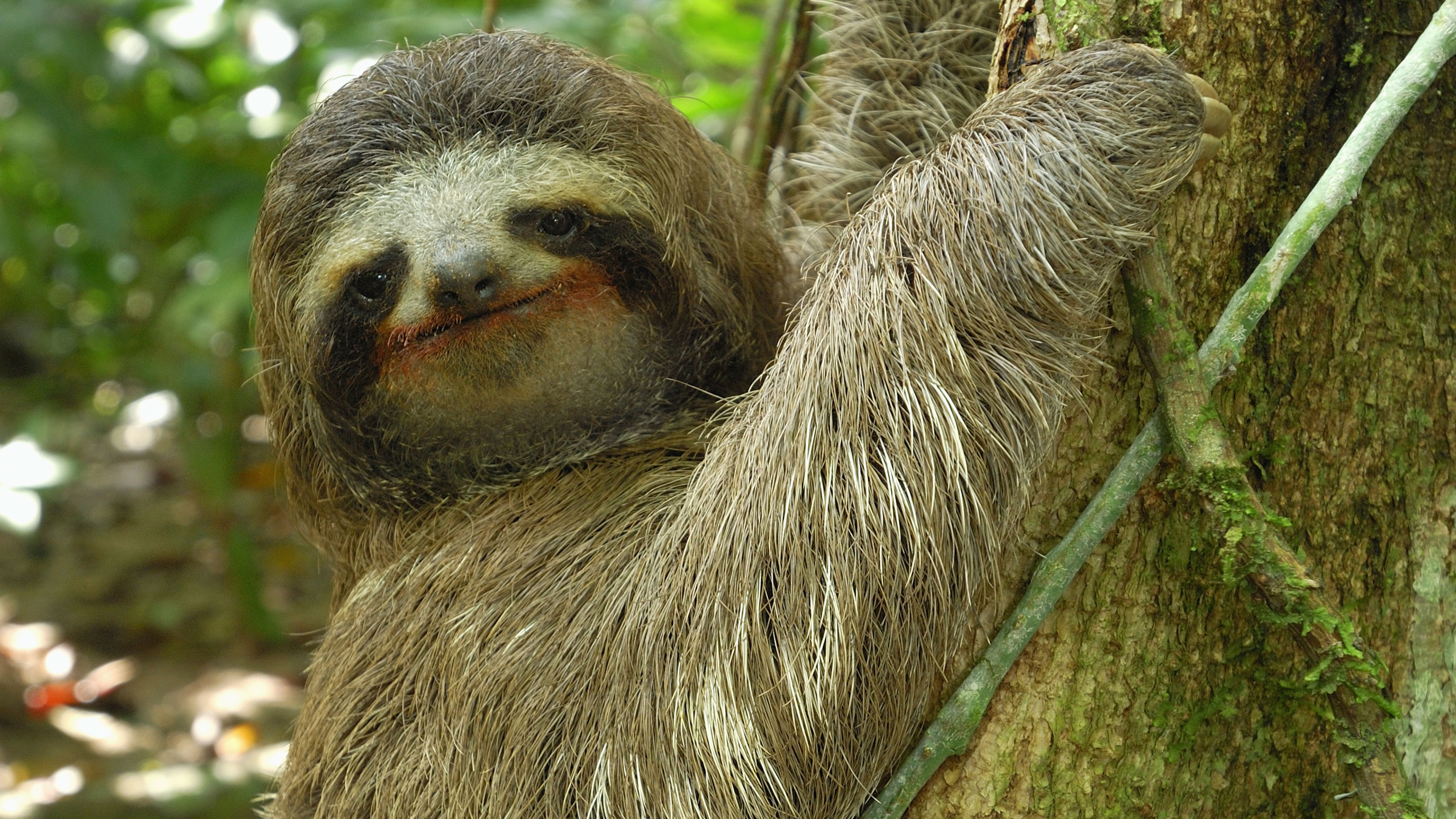 mammal and sloths Learn about the sloth,  among the most common mid-sized mammals in central and south american rain forests is the brown-throated sloth threats.