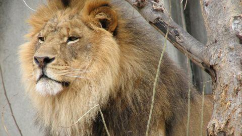 BigCats-Lion