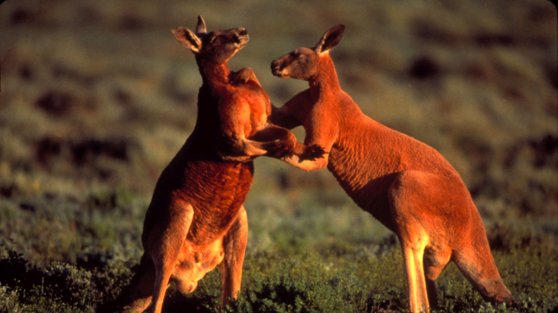 Big Red Roos | The Roo Files | Nature | PBS