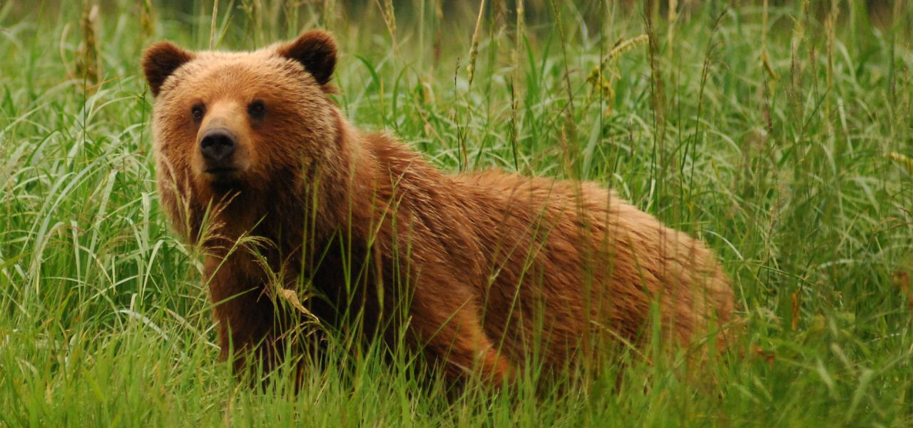 Brown Bears | Nature | PBS