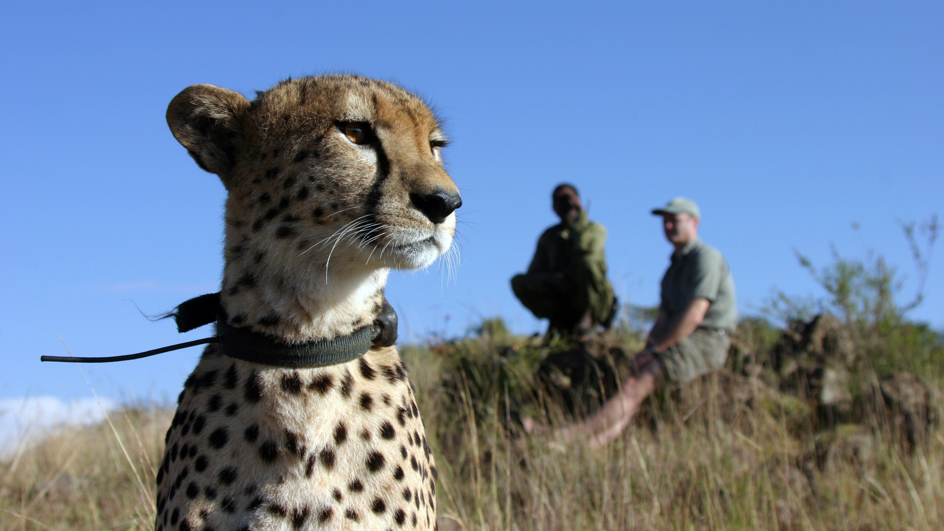 the cheetah orphans about nature pbs