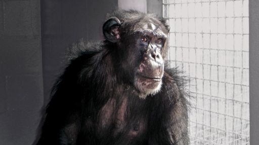 Chimpanzees: An Unnatural History