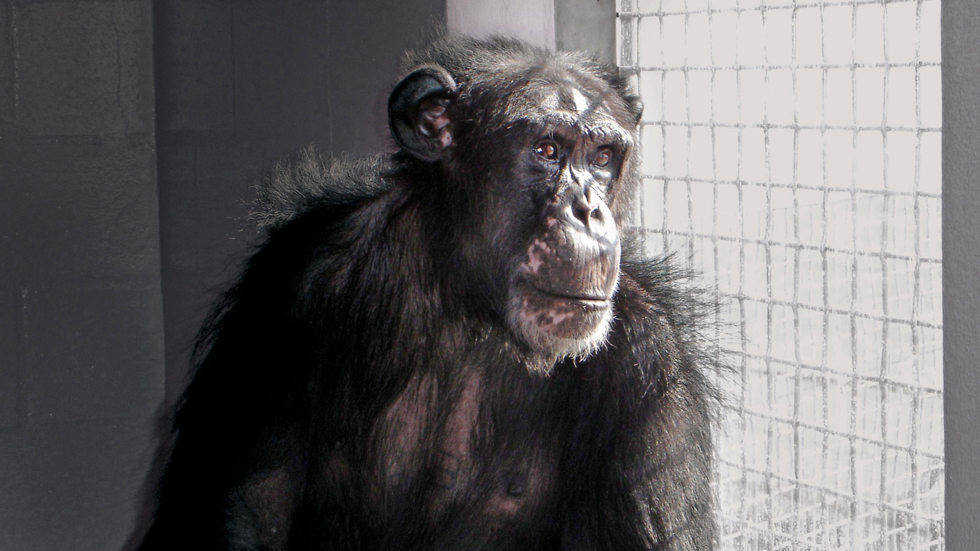 ChimpanzeesUnnatural-Main