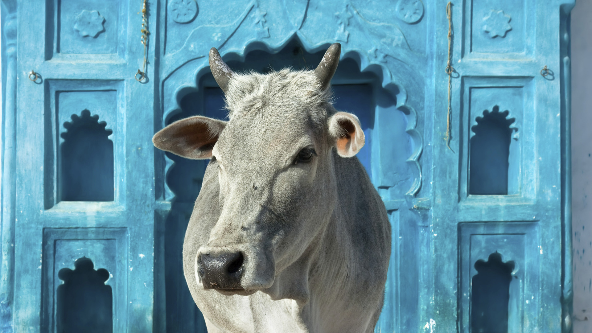 Sacred Cows | Demand Clarity |Scared Cow