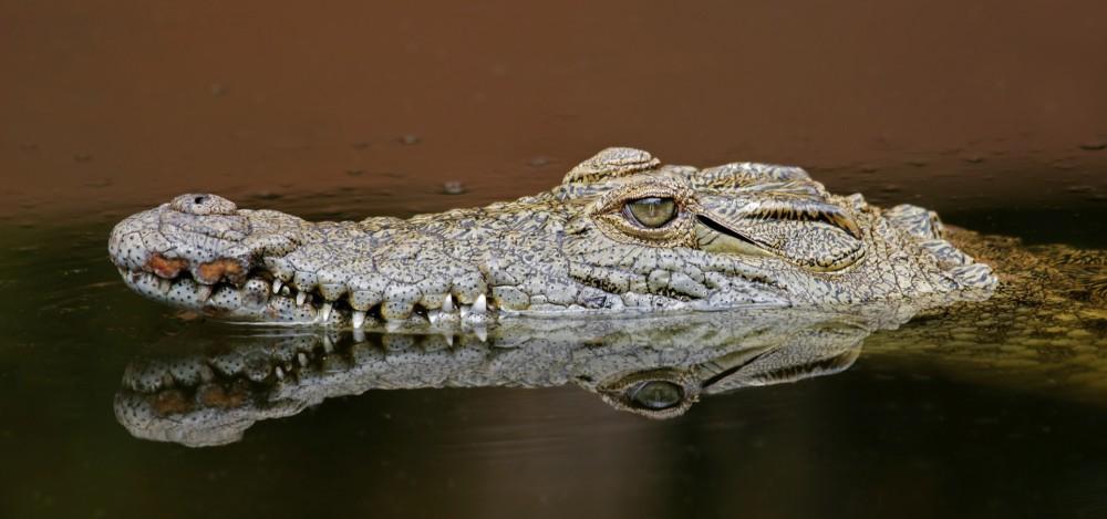 Crocodiles Nature Pbs