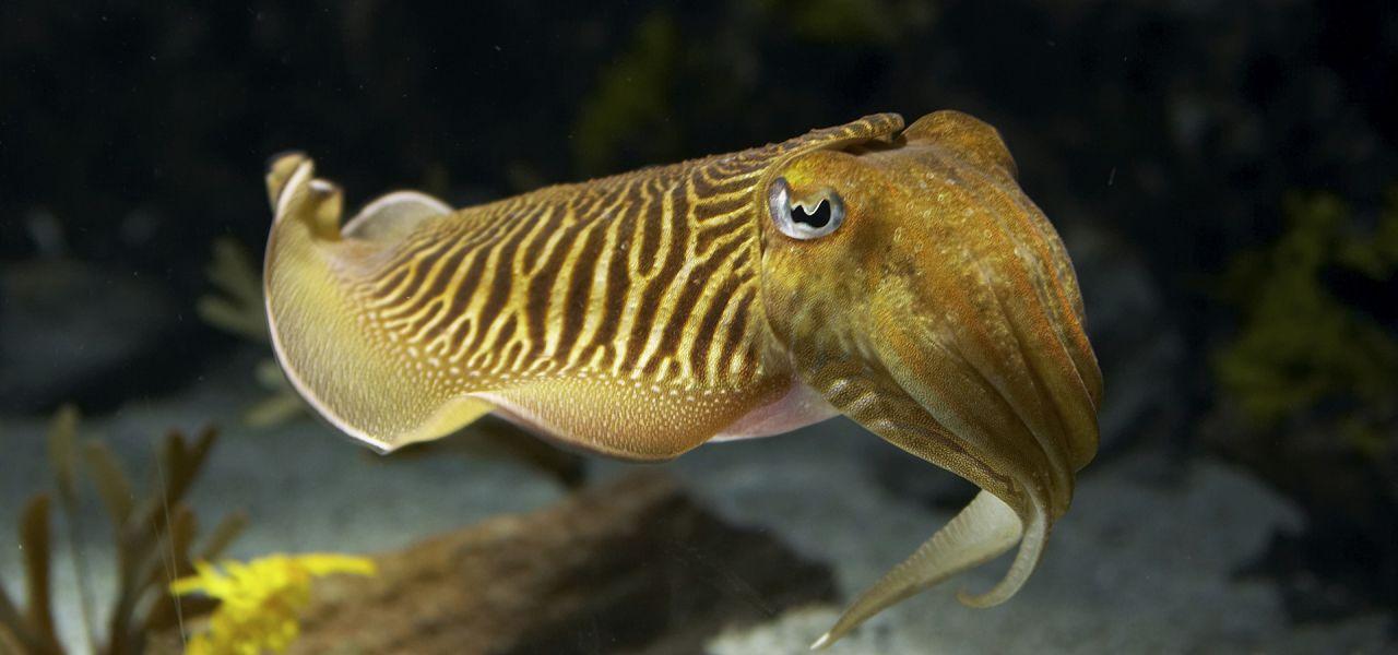 Cuttlefish | Nature