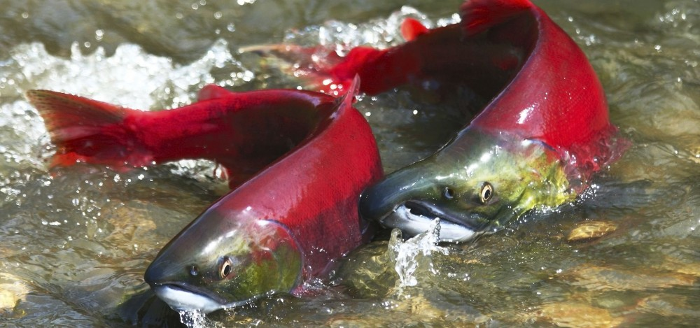 an introduction to the nature of atlantic salmon The marine survival and growth of wild and  introduction catches of atlantic salmon salmo salar l have  wild and hatchery reared atlantic salmon in nature.