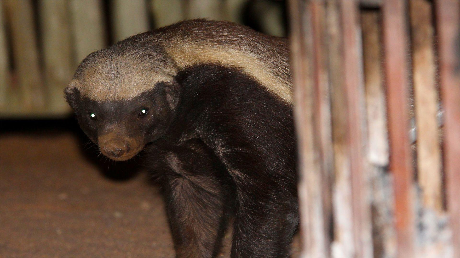 Honey Badger Nature Pbs