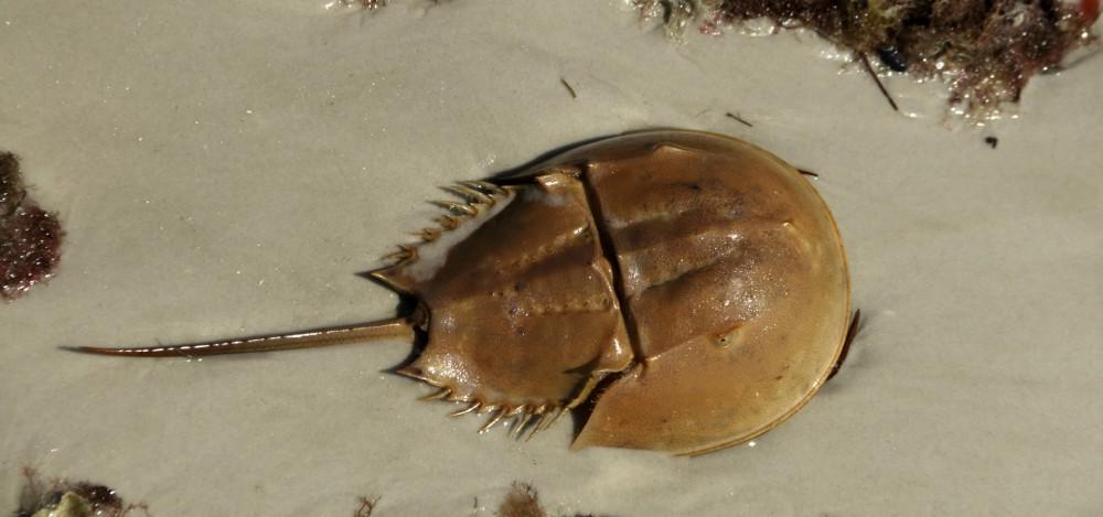HorseshoeCrab-Main-1000x469.jpg
