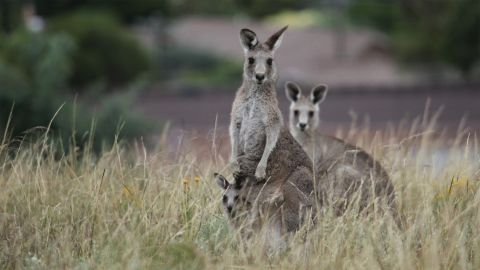 Kangaroos & Wallabies