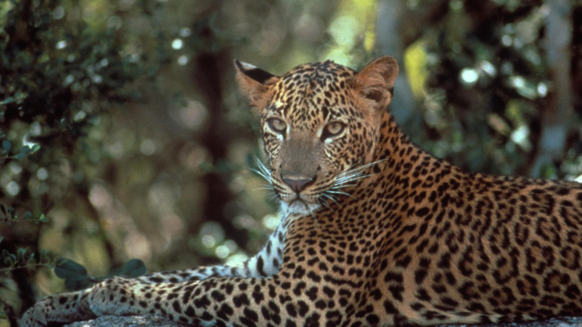 LeopardsOfYala-Main